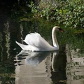 DSC06783-Swan on the water viaduct