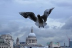DSC02139-Another giant seagull over St. Pauls